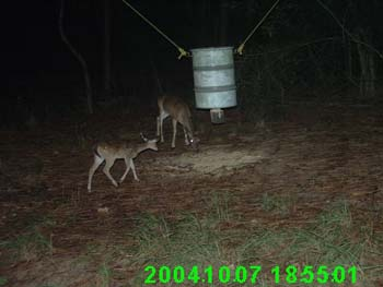 whitetail fawn and doe