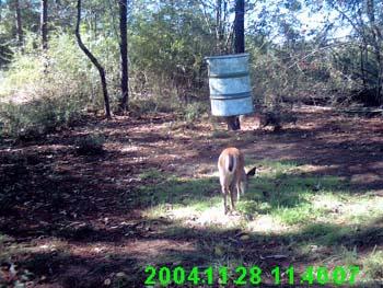 Baiting Deer Hunting