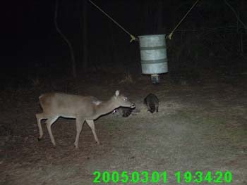 Antlerless Whitetail Buck