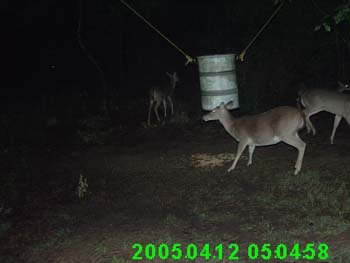 Pregnant Whitetail Doe
