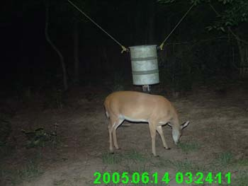 Very Pregnant Whitetail Doe