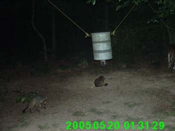 Grey Fox at deer feeder