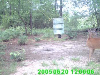 Whitetail Buck with Velvet Antler