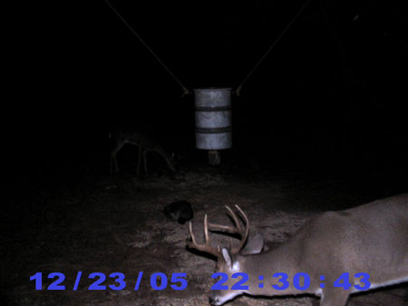 8-point whitetail buck