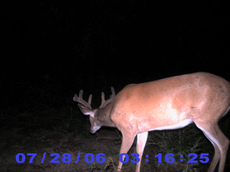 whitetail buck in velvet