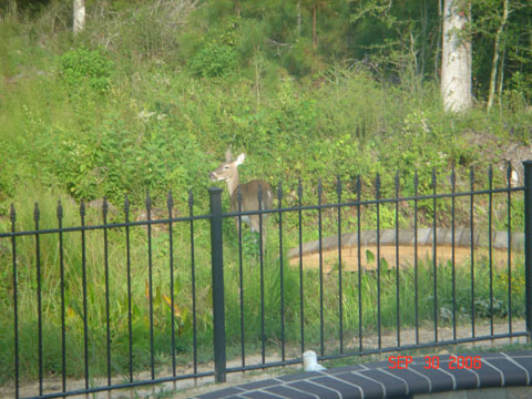 huge doe in my backyard