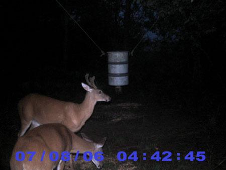 buck with velvet antlers