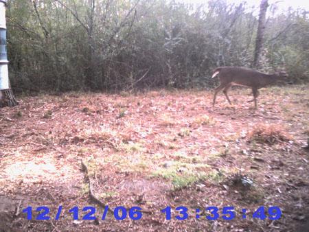 Buck at Midday