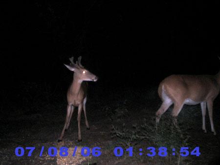 whitetail antlers