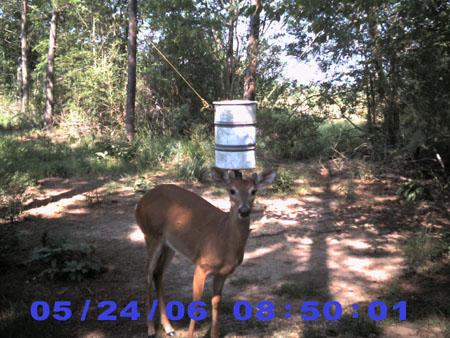 antlerless buck