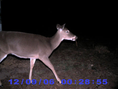 Large Whitetail Doe
