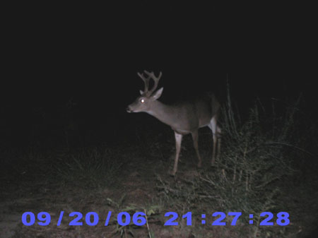 huge buck with velvet antlers