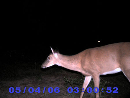 Whitetail Buck without Antlers