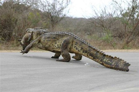 alligator eating wild pig