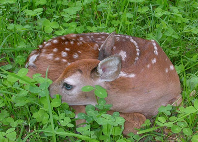 Newborn Whitetail Fawn