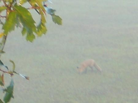 Red Fox Hunt