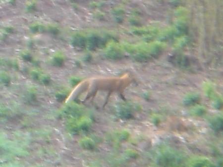 Red Fox Bait