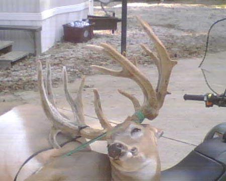 Big Somerset Buck