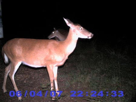 orange whitetail