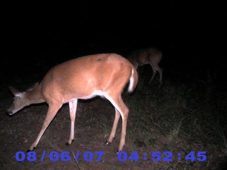 orange whitetail deer