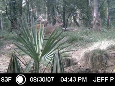 Whitetail Bucks on Davis Island