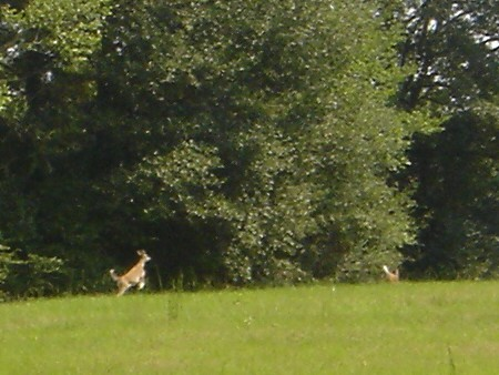 whitetail fawn photo