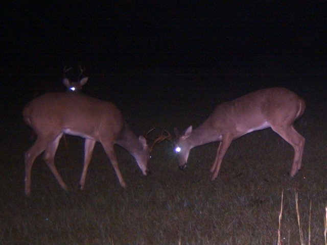 whitetail bucks sparring