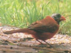 Bald Cardinal