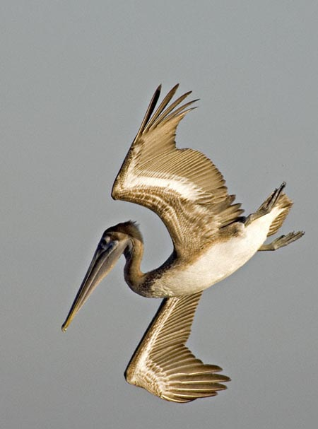 Lake Pontchartrain Brown Pelican