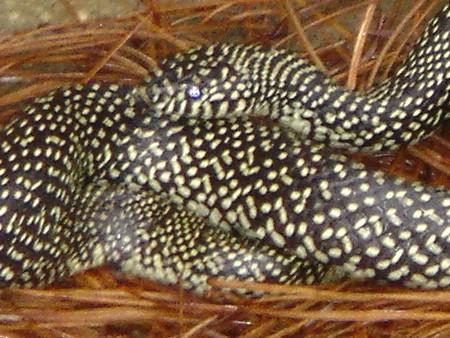 speckled kingsnake